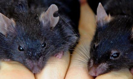 Genschere bekämpft Übergewicht – zumindest bei Mäusen