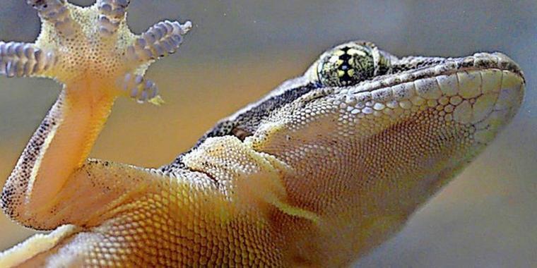 Warum Geckos übers Wasser laufen können