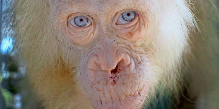 Weiße Orang-Utan-Dame Alba darf zurück in Freiheit