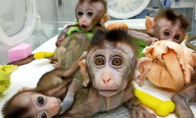 Erstmals mehrere genveränderte Affen geklont