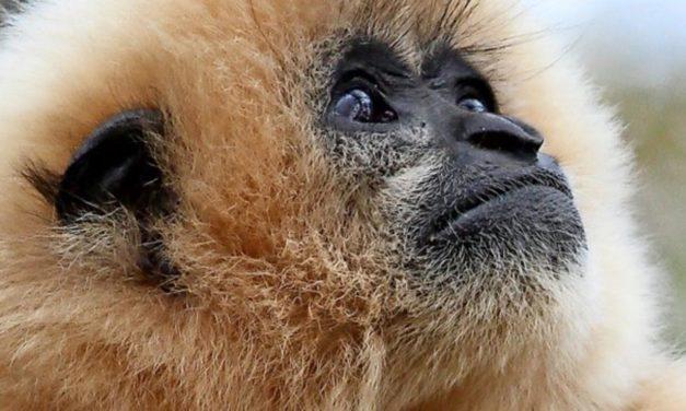 Gibbon ist Zootier des Jahres 2019