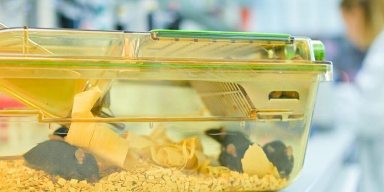 Heidelberg: Krebsforscher sollen illegale Tierversuche durchgeführt haben