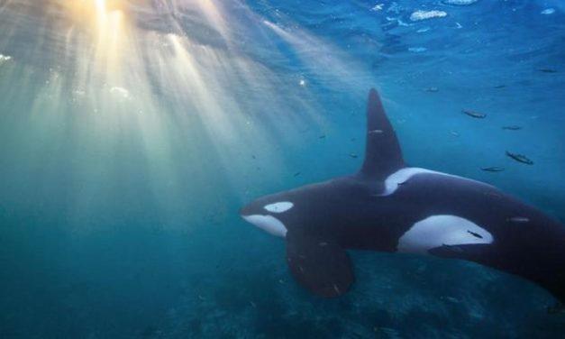 Urzeit-Wal war ein gefährlicher Fleischfresser