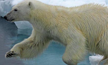 """Invasion der Eisbären: """"Der Klimawandel ist schuld an der Misere"""""""