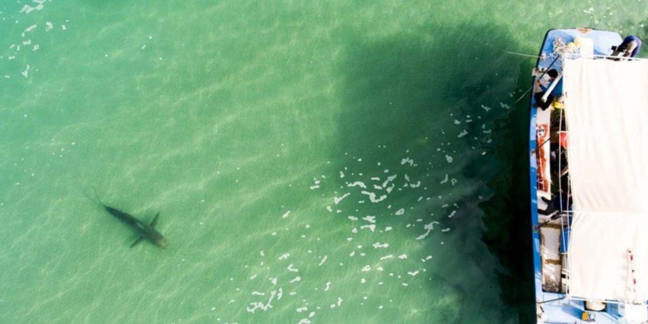 Vor Israels Küste tummeln sich massenhaft Haie