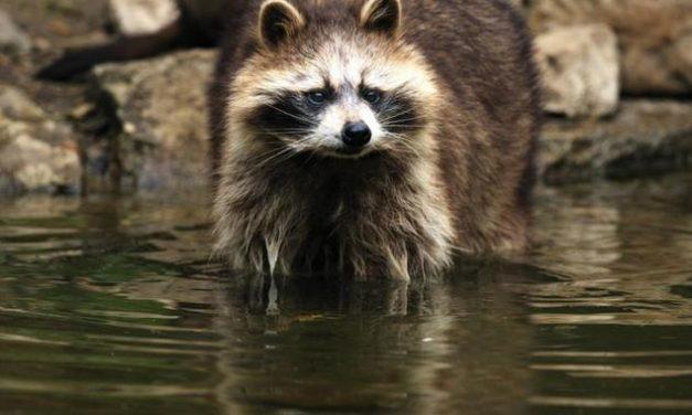 Waschbären feiern Poolparty – bis ein anderes Tier sie stört