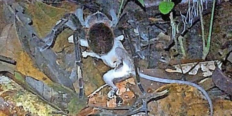 Schrecken des Amazonas: Vogelspinne tötet Beutelratte