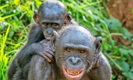 So unterschiedlich reagieren Affen auf Kamerafallen