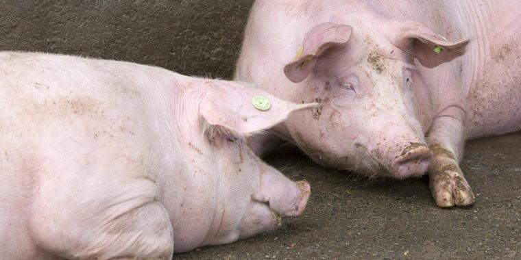 Grundschule will Hausschweine vor den Augen von Kindern schlachten