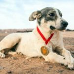 Straßenhund läuft Sahara-Ultramarathon mit – und belegt Platz 52