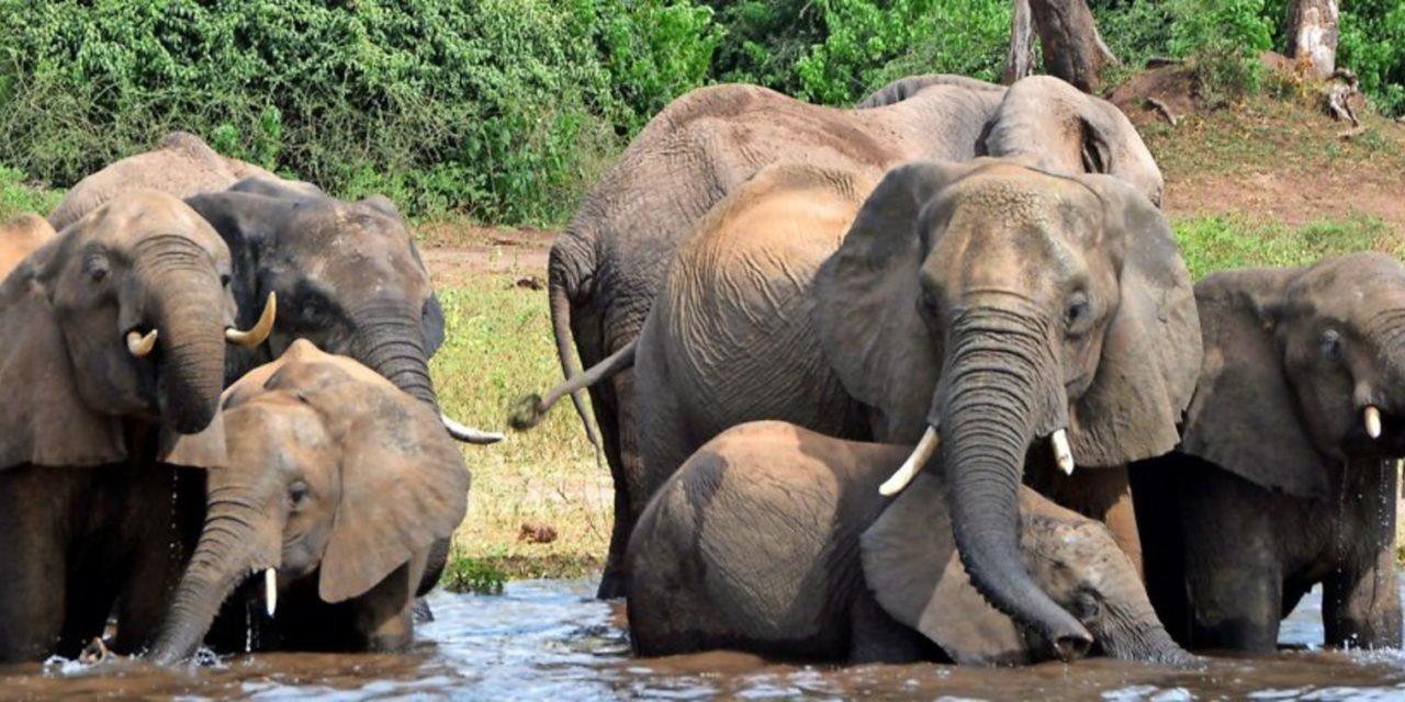 Botsuana gibt Elefanten wieder zum Abschuss frei