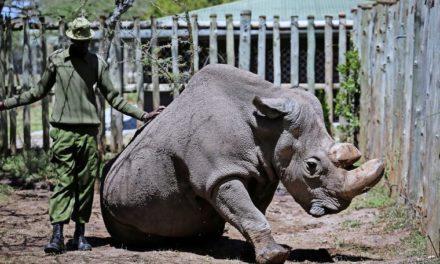 """Tierschützer: """"Nashorn-Krise wird immer dramatischer"""""""