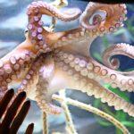 Influencerin will lebendigen Oktopus essen – doch der beißt zurück