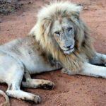 Pärchen posiert küssend neben erschossenem Löwen