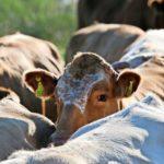 Passanten schockiert: Entlaufene Kuh auf offener Straße abgestochen