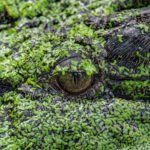 Polizei warnt vor Alligatoren im Drogenrausch
