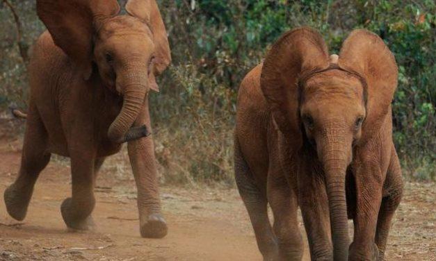 Artenschutzkonferenz beschließt: Elfenbeinhandel bleibt verboten