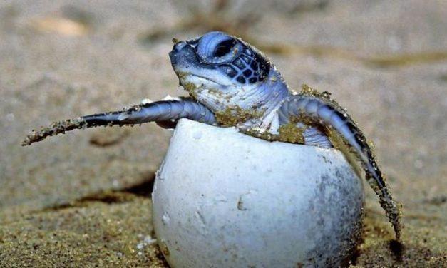 Schildkröten bestimmen ihr Geschlecht im Ei selbst