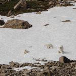 Ausgehungerte Eisbären kommen Siedlungen erneut nahe