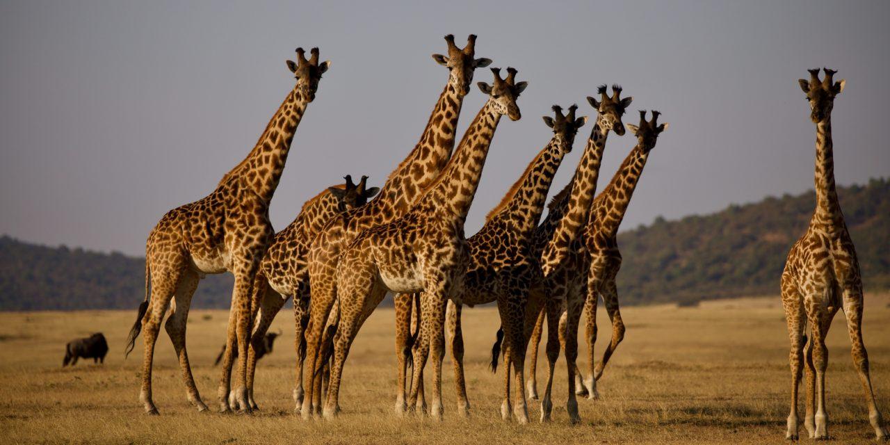 Artenschutz-Konferenz fordert: Keine Jagd auf Giraffen
