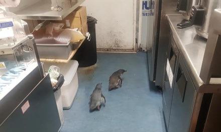 Schon wieder: Pinguine im Stadtzentrum von Wellington unterwegs