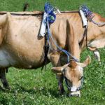 Rülpsen für das Klima: Der Abgastest für Kühe