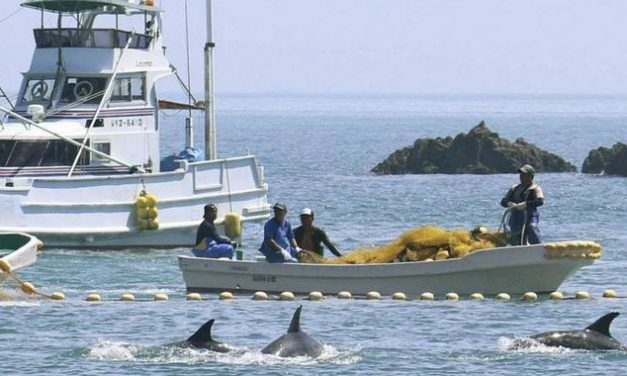 Japan macht wieder Jagd auf Delfine: Tierschützer gegen blutige Tradition