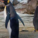 Keine Hoffnung mehr auf Nachwuchs: Schwules Pinguin-Paar in Berlin beendet Brut