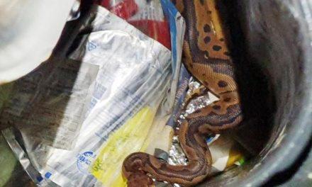 Mann entdeckt ein Meter lange Königspython in Mülltonne