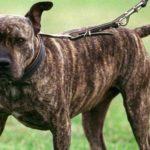 Polizisten wollen Kampfhund beschlagnahmen – Besitzer rastet aus