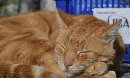 """""""Dienstkater ehrenhalber"""": """"Campus Cat"""" Leon soll Ehrentitel erhalten"""