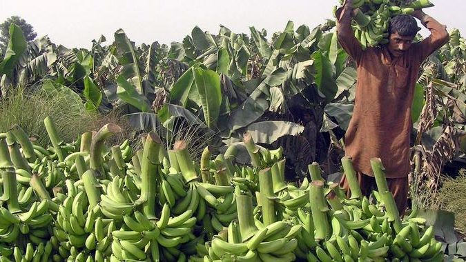 Klimawandel und Krankheiten bedrohen Bananenernte