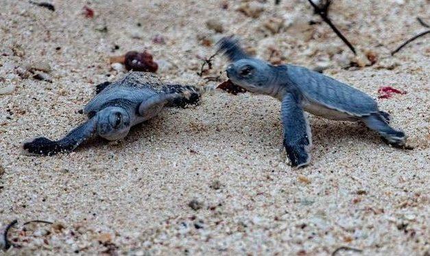 Schutzmaßnahmen in Costa Rica: Aktivisten retten Baby-Schildkröten