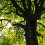 Klimawandel: Deutschland sucht den Superbaum