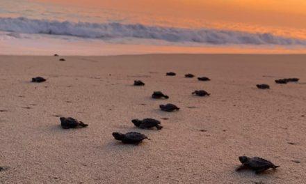 Freiwilligenarbeit: Mit Meeresschildkröten in Mexiko