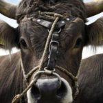 Stier entkommt Schlachter – und ist seitdem auf der Flucht