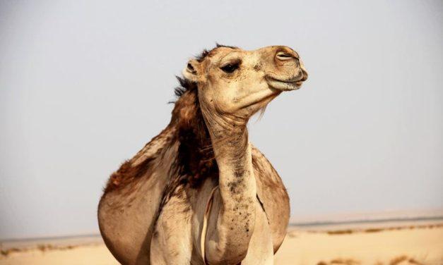 MADS-Kolumne: Liebe Kamele,